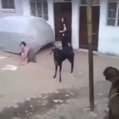 FUNNY GOAT HIT A GIRL