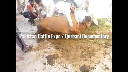Angry Cow Qurbani 2016 2017 Funny Barsati Anari Qasai Eid