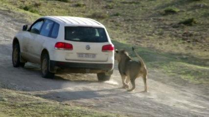 Funny Animal attacks on Humans - Lions Attack a Car
