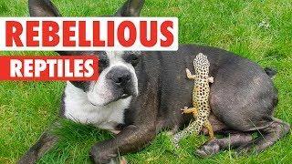 Rebellious Reptiles   Funny Reptile Video Compilation 2017