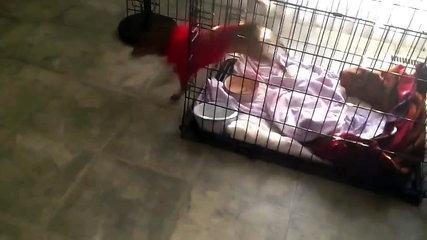 My funny dog quesadilla