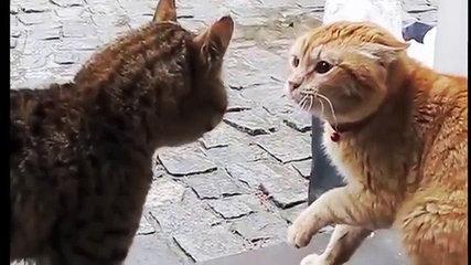 Funny  cat1