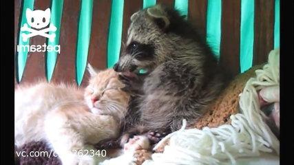 Funny Raccoon Gets The Cat!