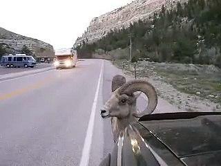 Ce bélier déteste les voitures... Coup de corne