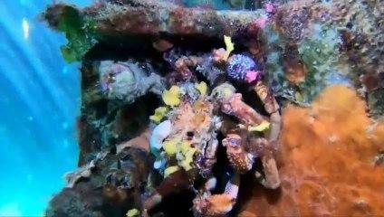 Les couleurs de ce crabe qui se camoufle sont merveilleuses... Victoria, Australie