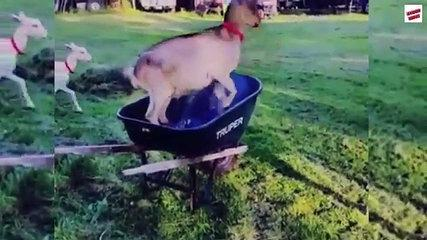 Funny Goat Fails Compilation