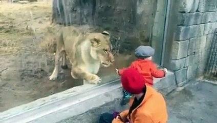 Ce lion a terriblement envie de jouer avec ce bébé... ou de le manger