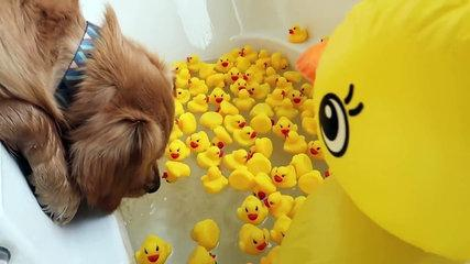Sammie vs Giant Rubber Ducky! Funny Dog Bath! Golden Retriever Puppy | Playtime Fun Vlog