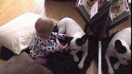 Pit bull with baby playing Full HD new 2016