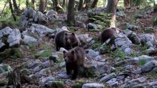 Bear, Brown Bear 2013