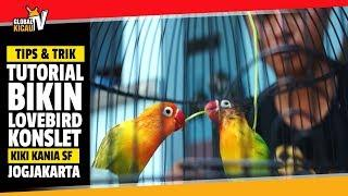 GLOBALKICAU : Tutorial Bikin Lovebird KONSLET Stabil Birahi Ala KANIA SF Jogjakarta