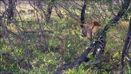 Ce léopard en train de chasser ne sait pas qu'il est aussi la proie d'un autre léopard