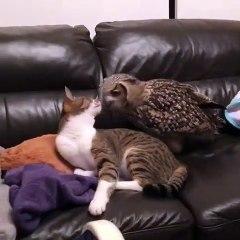 Ce hibou joue avec un chat sur le canapeu... normal !