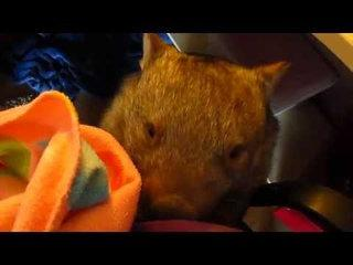 Funny Wombat Steals Owner's Glove