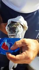 Funny But Dangerous Fish Eating Pepsi Can
