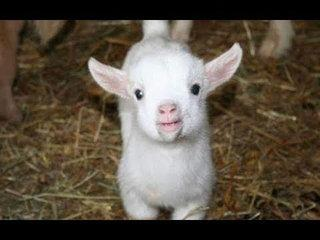 Baby Goats - Funny And Cute Baby Goats Compilation BEST OF
