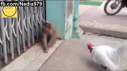 funny monkey attacks on hen