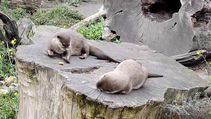 Cute Otter Juggling a Rock, funny fails, funny cat and dog