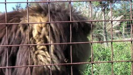 Funny Crazy BIG CAT SOUNDS!-pHZm52nvBB4