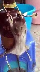 Funny rat video.