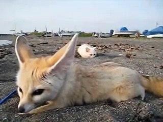Un chat veut faire une blague à un petit renard
