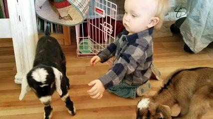 funny Baby and Baby Goats