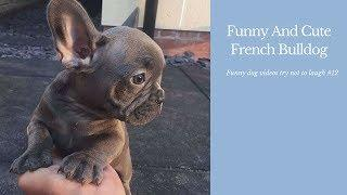Funny And Cute French Bulldog | French bulldog Puppies | Funny dog videos try not to laugh #12