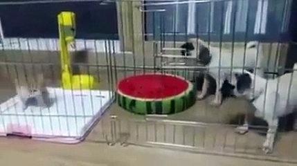 2 Pets vs 1 Litle Cat, FUNNY VIDEO 2016  - HD