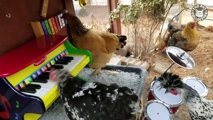 awesome chickens funny pet