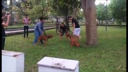 Pit Bull (Bully) Super Funny Dog Fighting [Must Watch]