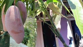 PROPAGATION MANGO GRATING TREE AND VIDEO RESULT/TUTORIAL GRAFTING MANGO TREE