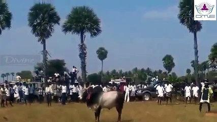Funny bull fighting in India