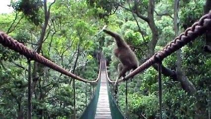Funny Gibbon Walking The Rope